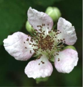 blackberryblossom